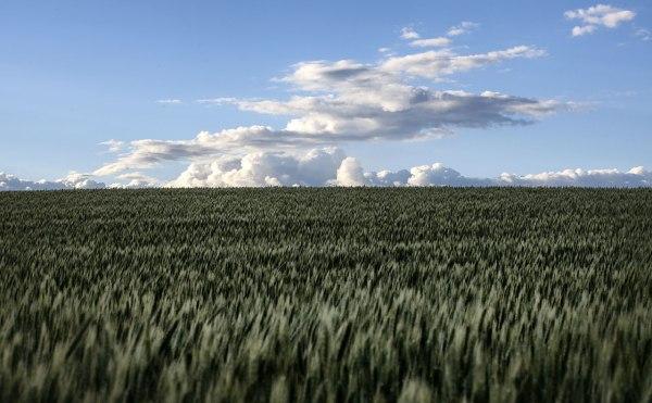 Wheatfield in the Palouse