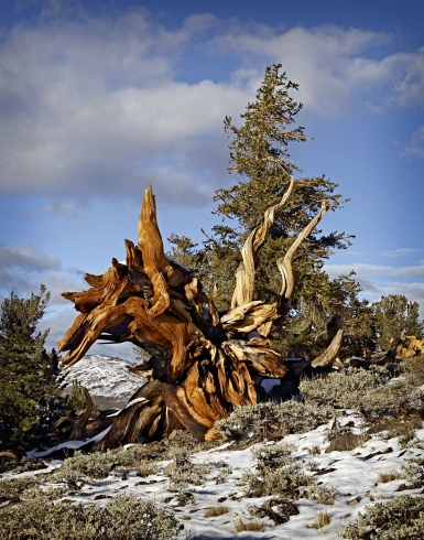 Bristlecone Pine, M Pannier